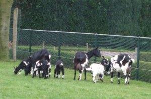Bonte geiten en lammeren 2008.