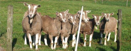 2013; toggenburger geiten.