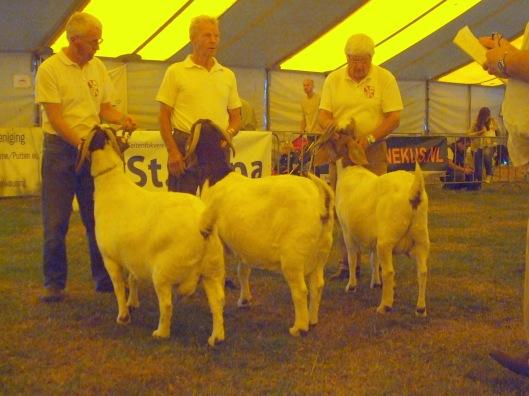 2013 Almkerk;  Zuid Nederlandse keuring; boer geiten 2 t/m 4 jaar. 1a.  Manoek 1; 1b. Flora 2; 1c. Doortje.