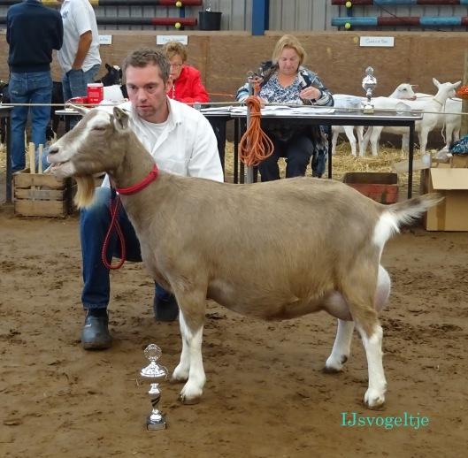 2014 CW geitenkeuring Jubbega;  Reserve kampioen toggenburger geiten is Sweelhoeve Elsje 86  v. Sarie's Eduard JH.