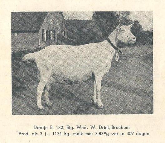 Witte geit Daatje; 1941; Bruchem 001-1