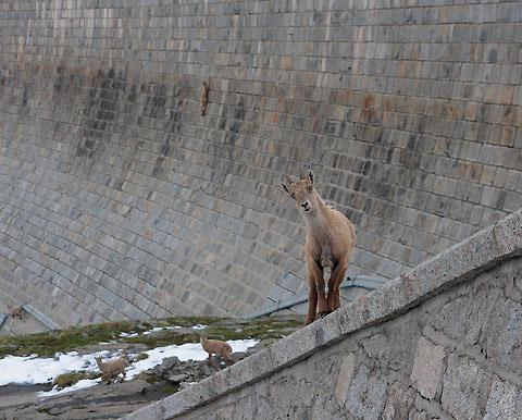 dam goats 1