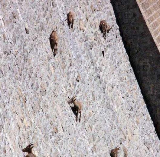 dam goats 2