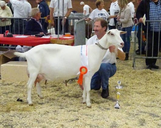 2015 Barneveld. Algemeen kampioen geiten is Boukje 294 van U. de Vries.