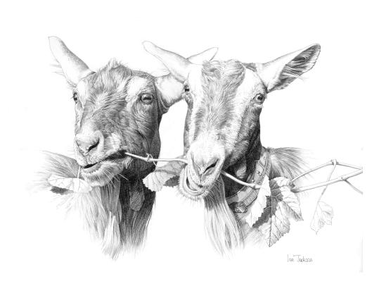British-Toggenburg Goats, Ian Jackson.