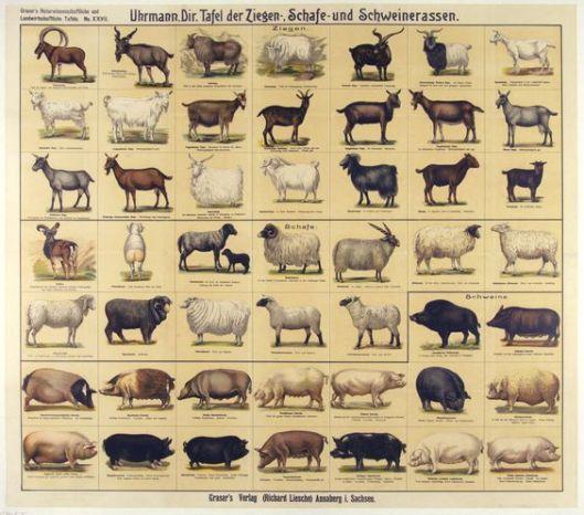 edc29cffa7d946875469ff5b1c55f7e8.jpg rassen schapen, geiten en varkens