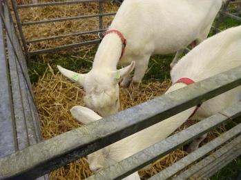 Witte geiten