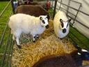 Kerry Hill schapen